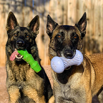Two German Shepherds holding Super Chewer toys in their mouths